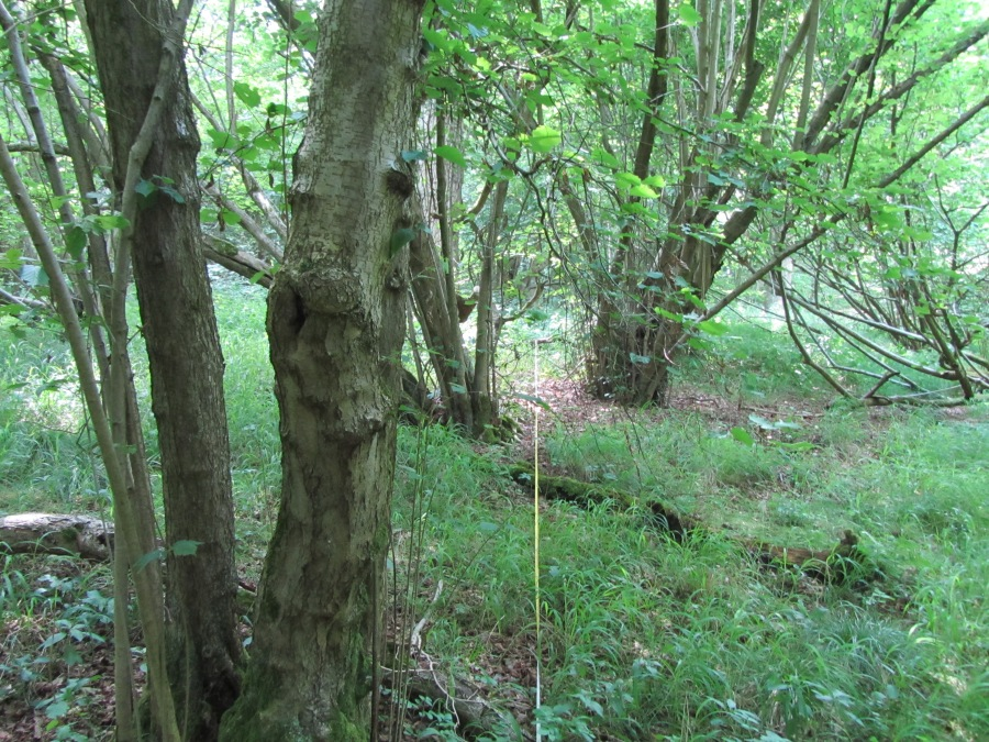 The Woods ofHazel