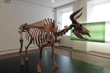 16_12 Copenhagen museum 8600 BC auroch skeleton 3
