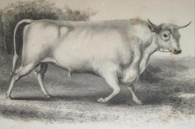 chillingham bull 1