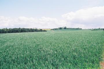 5. wheat fields
