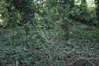 17_10 Rothamsted Broadbalk holly and ivy