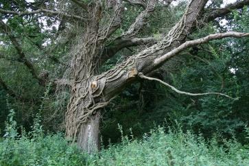 17_8 TL8188 ivy on oak 2