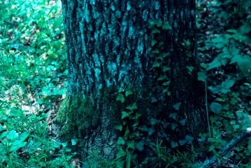 85_5 Bialowieza plants ivy