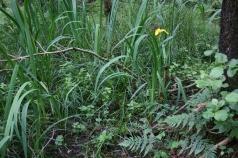 17_6 SD3382 Roudsea Wood alder iris