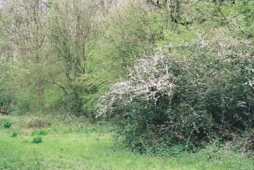 blackthorn scrub