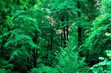 264. 84_6 Hockering Wood mixed lime canopy