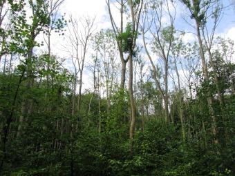Moesgard dieback in ash swamp