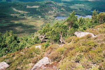 pinewood treeline 07 2