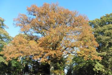 15_11 autumnal oak by car park