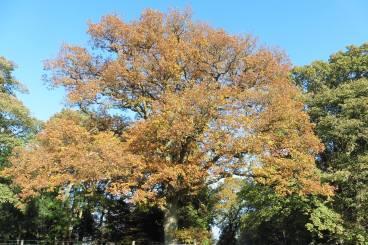 15_11 autumnal oak by car park