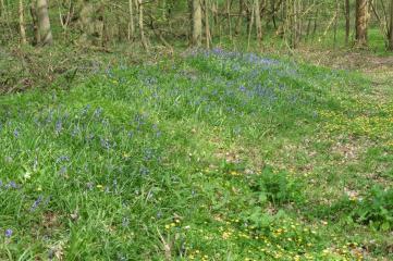 18_5 wytham bluebell on woodbank