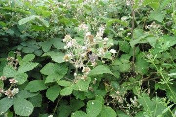 TG3014 16_6 bee on blackberry 2