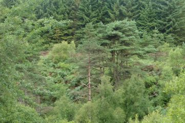18_8 NY69 Kielder Williams Clough pines 5