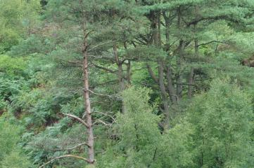 18_8 NY69 Kielder Williams Clough pines 7