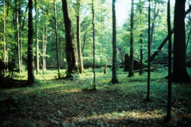 85_5 Bialowieza lime forest structure