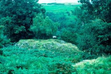 NY5015 91_9 sheep