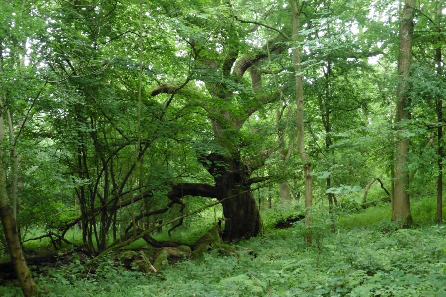 Ash Dieback in Wytham Woods