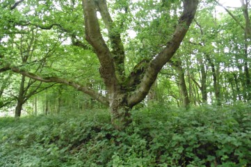 15_8 squat oak