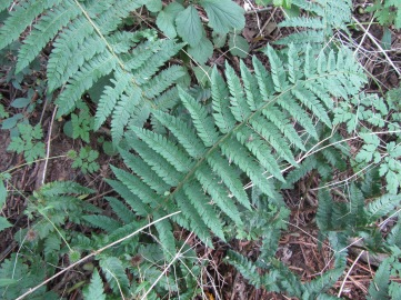 feb soft shield fern SP1162 12_9 soft shield fern in green lane