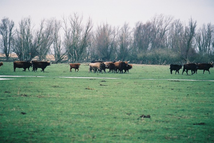 cattle herd 3