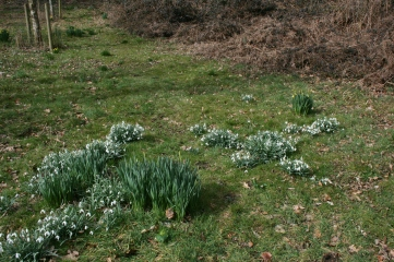 15.2 Snowdrops and daffodils introduced to new woodland for aesthetic purposes