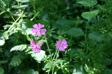 17_5 red campion 1