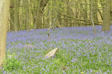 18_5 wytham beech bluebells trenches 5
