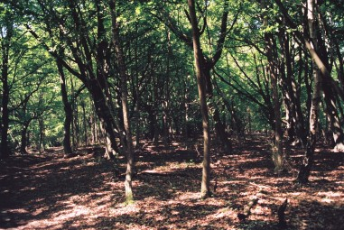 Bix beech old coppice june 07