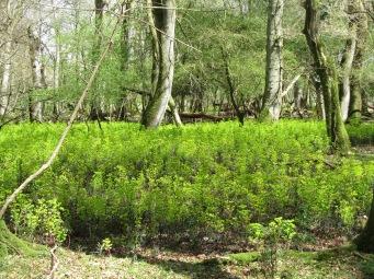 wood spurge12_4 SU2805 massed Euphorbia 1
