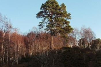18_12 NH2023 Glen Affric granny pine