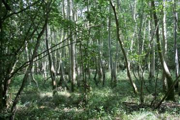18_8 TL2953 Hayley Wood ash grove former elm (2)
