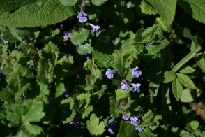 ground ivy 18_5 Knepp TQ1420 ground ivy 1