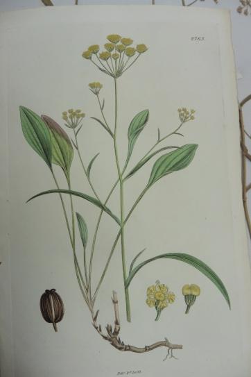 bupleurum falcatum FD Herb. 20_1 drawing