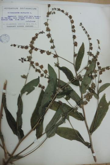 Cynoglossum germanicum noble collection