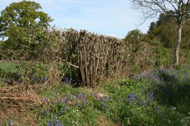18_5 Knepp TQ1523 bluebell in hedge 3