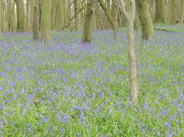 16_4 bluebells by the trenches 2