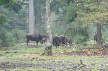 17_4 Bayerischer National Park bison 3